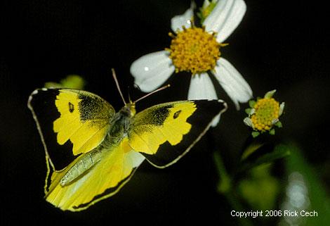 http://www.butterfliesarestillfree.com/images/photo-lg-southerndogface.jpg